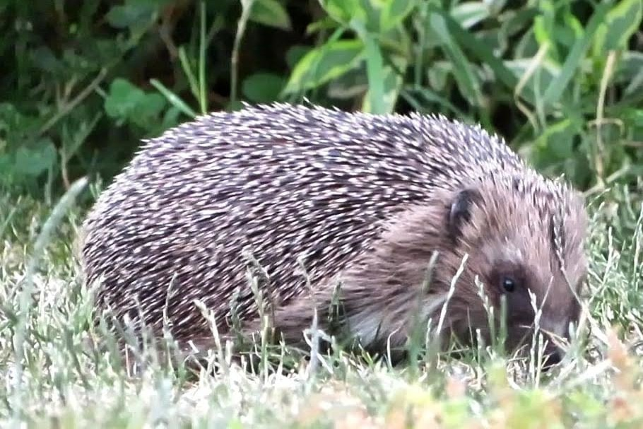 Hedgehog visiting a garden