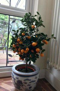 Citus tree